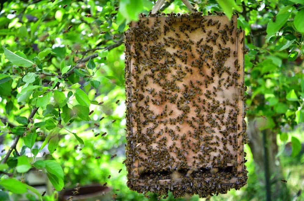 Bee swarm trap