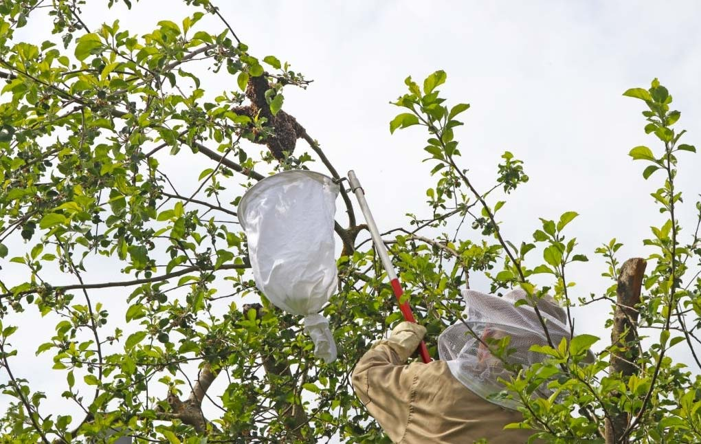 Catching bee swarm in tree