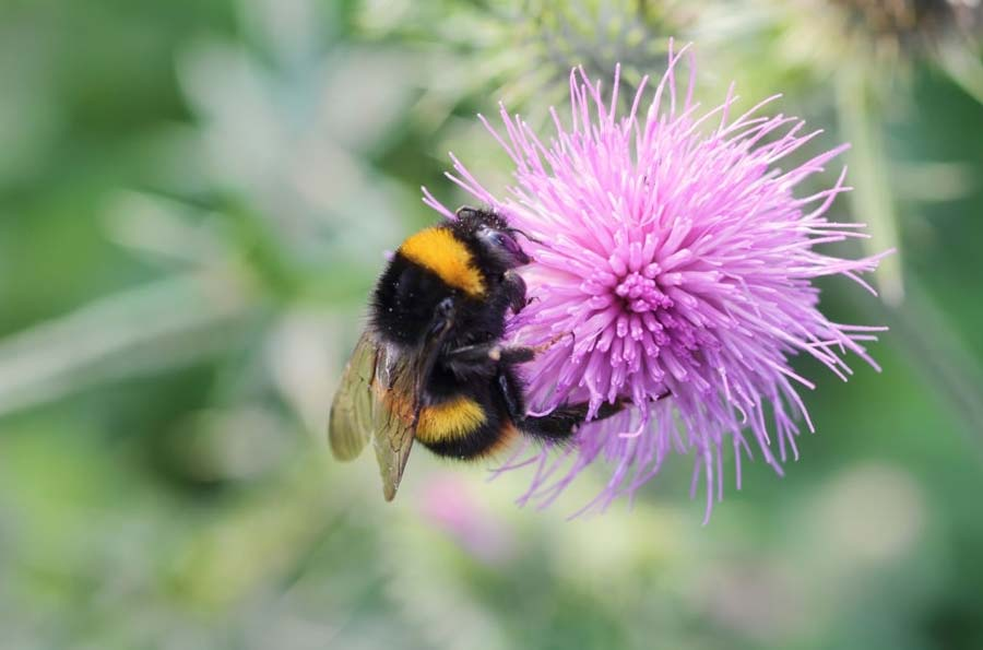 Bumblebee on pink thistle flower blossom