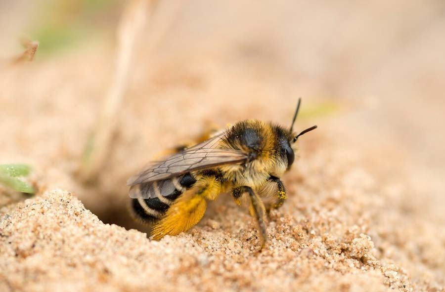 Ground bee outside