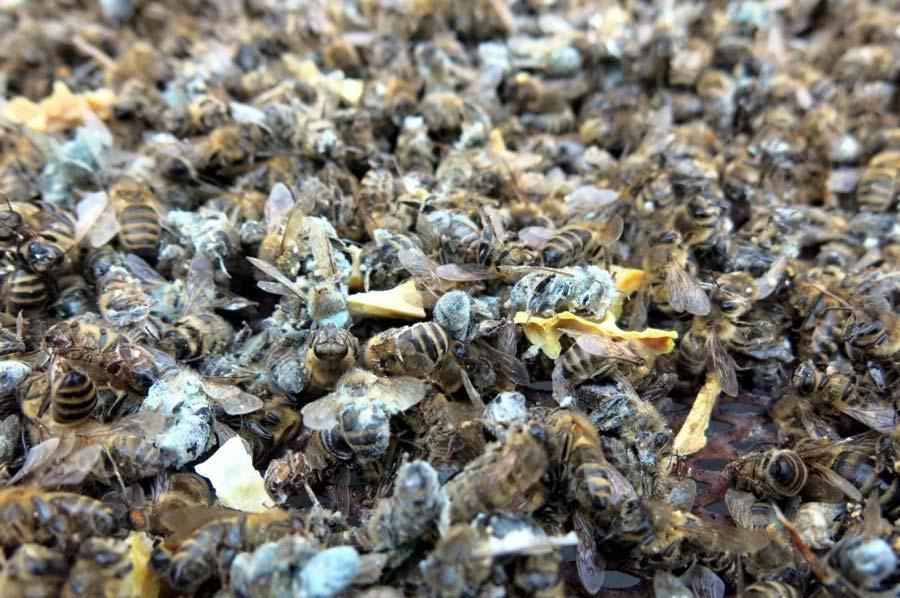 Moldy dead bees