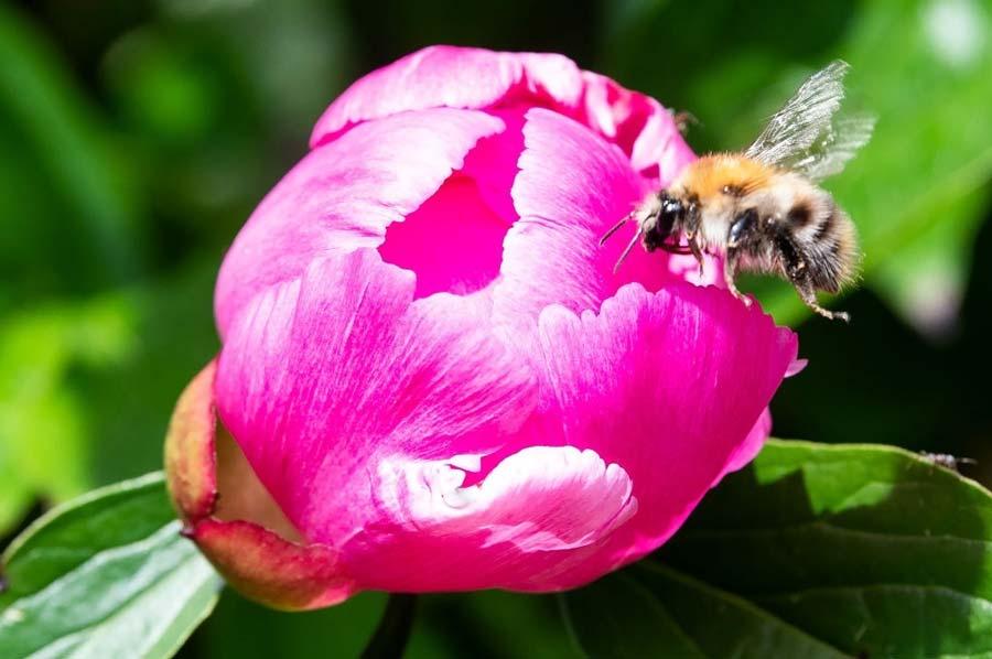 Peony blossom and bee
