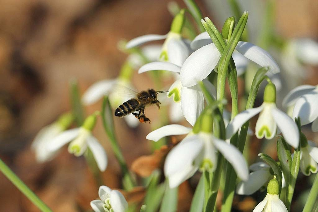 Snowdrop flower and flying bee