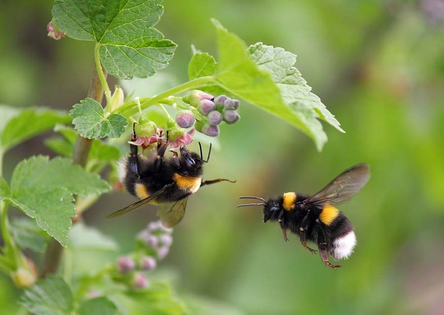 Two Bumble bees